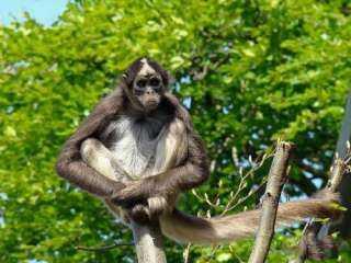 «بوبا لانغور»... اكتشاف نوع جديد من القردة مهدد بالانقراض